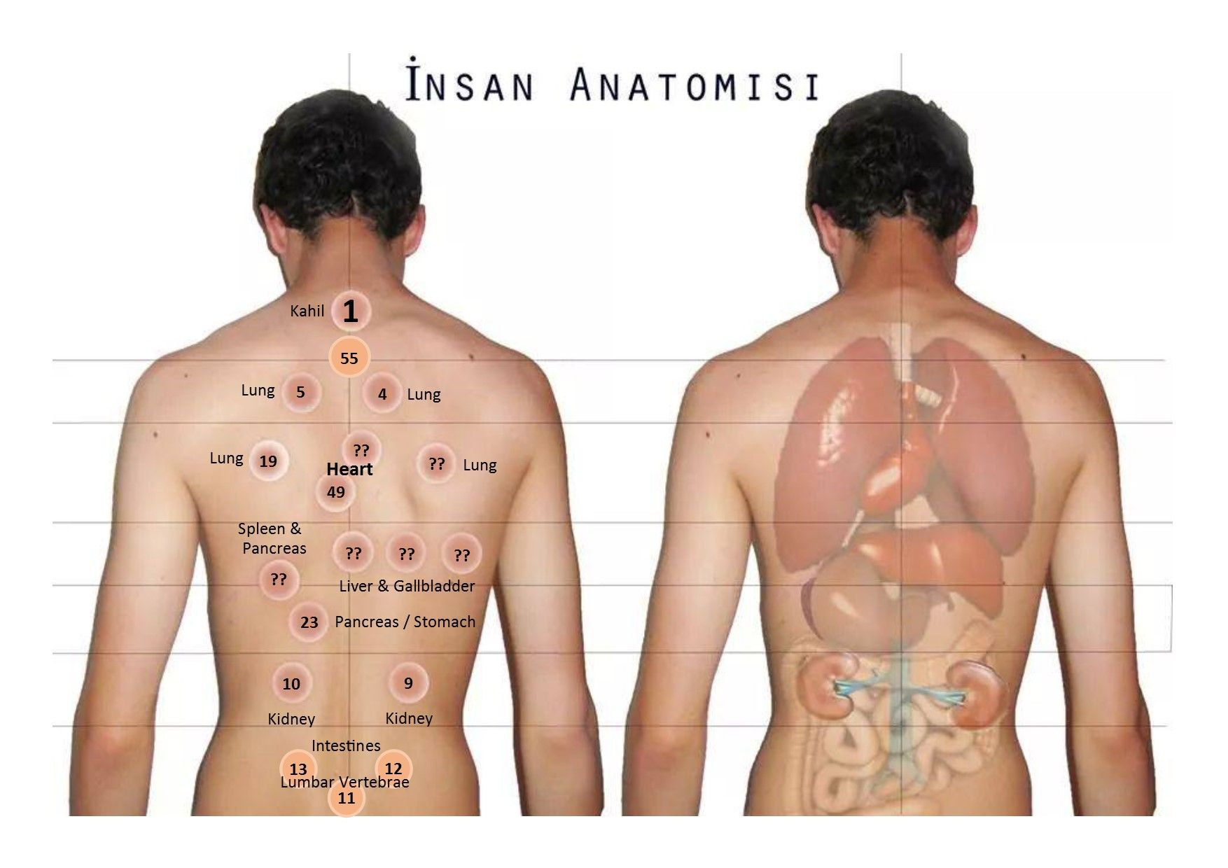 Hijama points corresponding with anatomy of organs | Natural Home ...