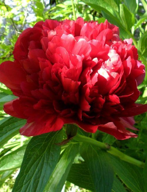 Single red Peony flower, Aldridge, Walsall, England