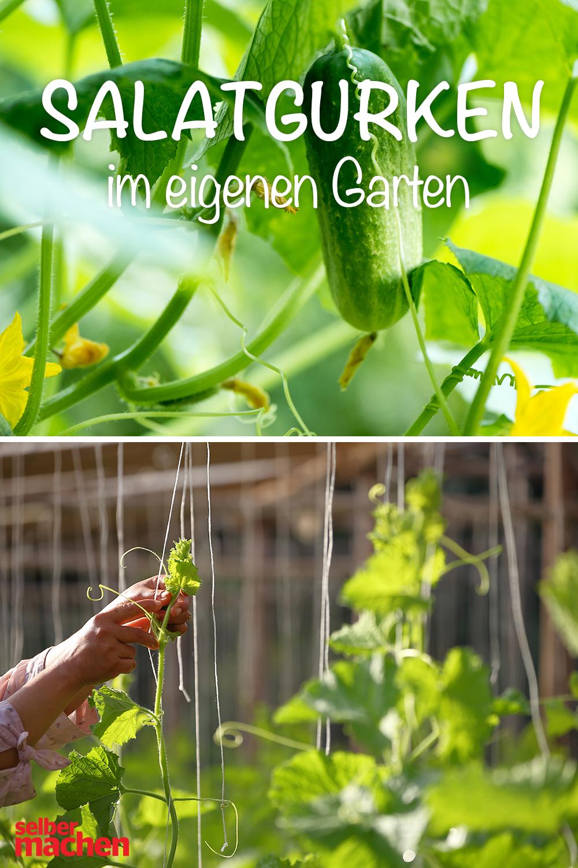 Grun Lang Und Schlank Gurken Im Eigenen Garten Garten Gurkenpflanze Gurke
