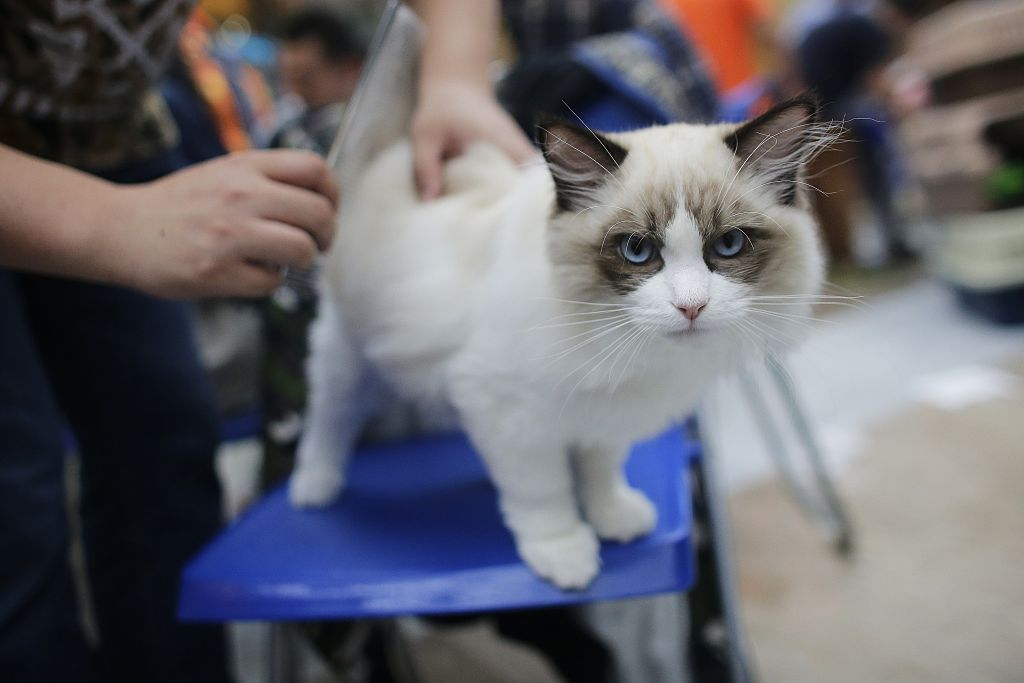 You Paid How Much For Your Pet 13 Most Expensive Cat Breeds In