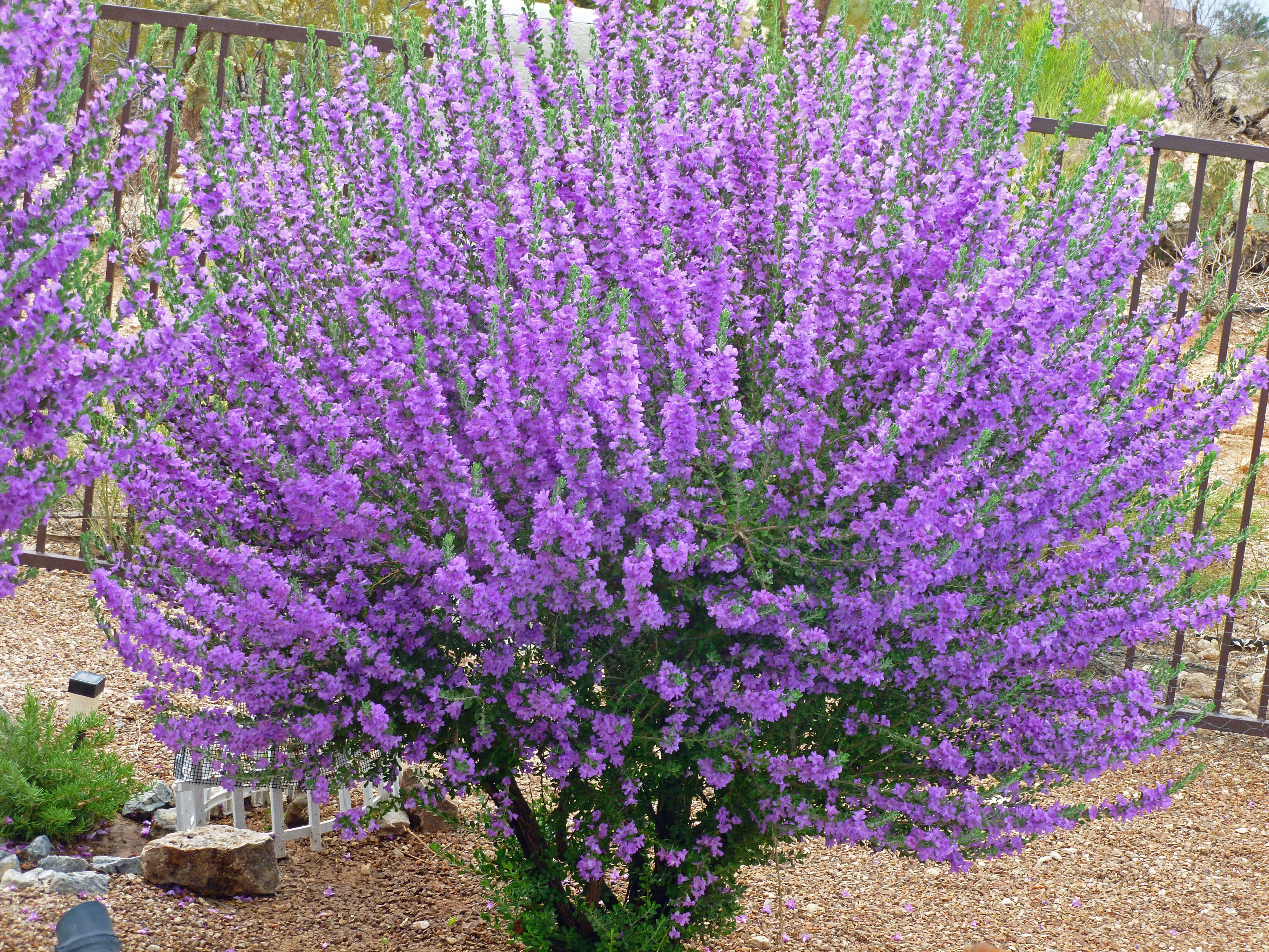The Texas Ranger Sage Shrub Bushes With Purple Or White Flowers Purple Flowering Bush Purple Flowers Garden Sage Bush