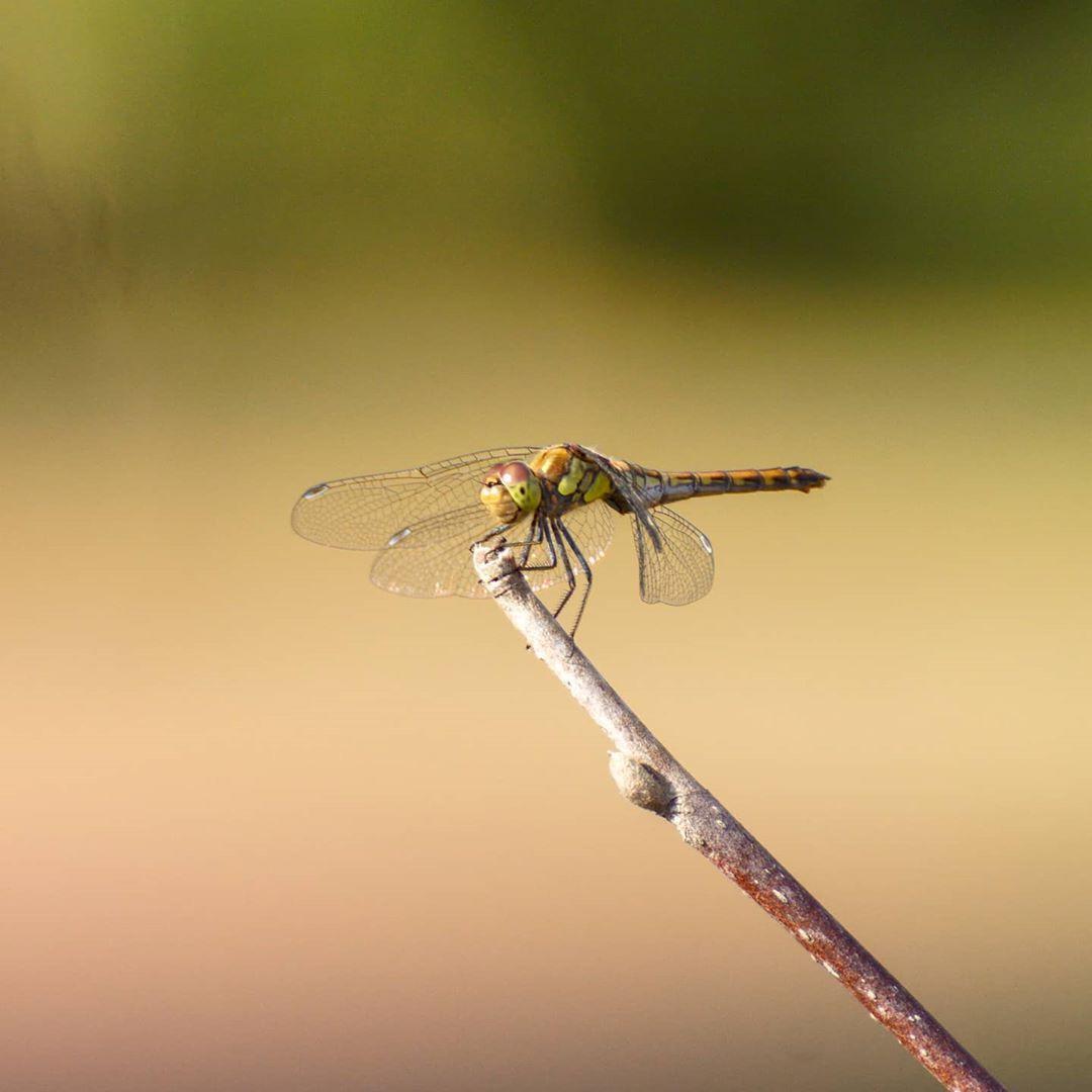 Guten Morgen, lasst euch nicht stressen! 😊🙋🏻♂️ .⠀ .⠀ .⠀ .⠀ .⠀ #libelle #dragonfly #libellula #libélula #amazing #style #nofilter #bestoftheday #photogram #instagood #photooftheday #photoeveryday #instafamous 🌿 #nature #theoutdoorfolk #nature_lovers #nature_brilliance 🐾 #animals #animal #instanature #wildlife #nature 🍀 #summer #summertime #toptags #sun #summerdays #sonyphotography #sonyalpha68 #alphashootings_de