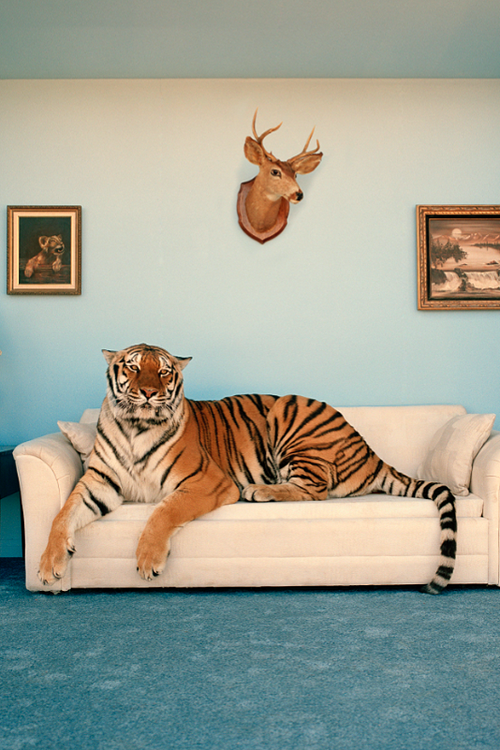 Tiger On Couch The Wiretap Tiere Poster Ideen Bilder