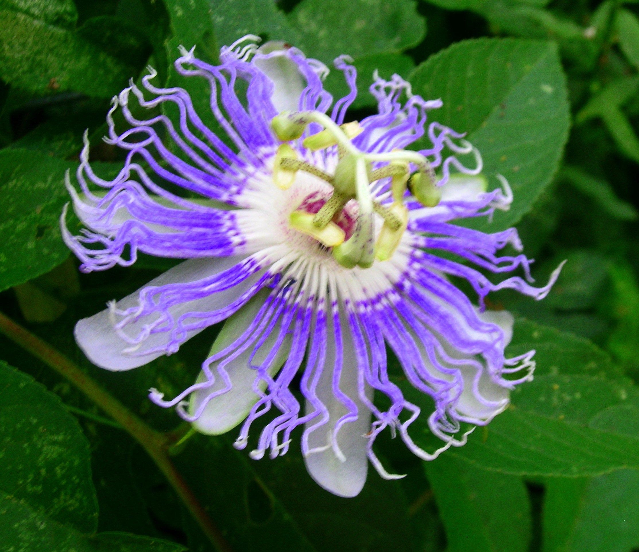 Blue Passion Flower Seeds Just Harvested 10 Seeds Free Shipping In 2020 Blue Passion Flower Flower Seeds Passion Flower