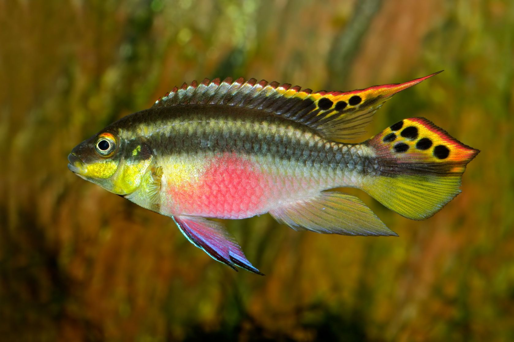 Pelvicachromis Pulcher Kribensis Krib Cichlid Cichlid Aquarium Cichlid Fish Aquarium Fish