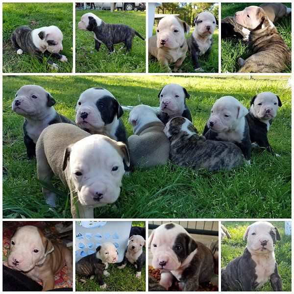 Litter Of 9 American Bulldog Puppies For Sale In Fruitvale Tx