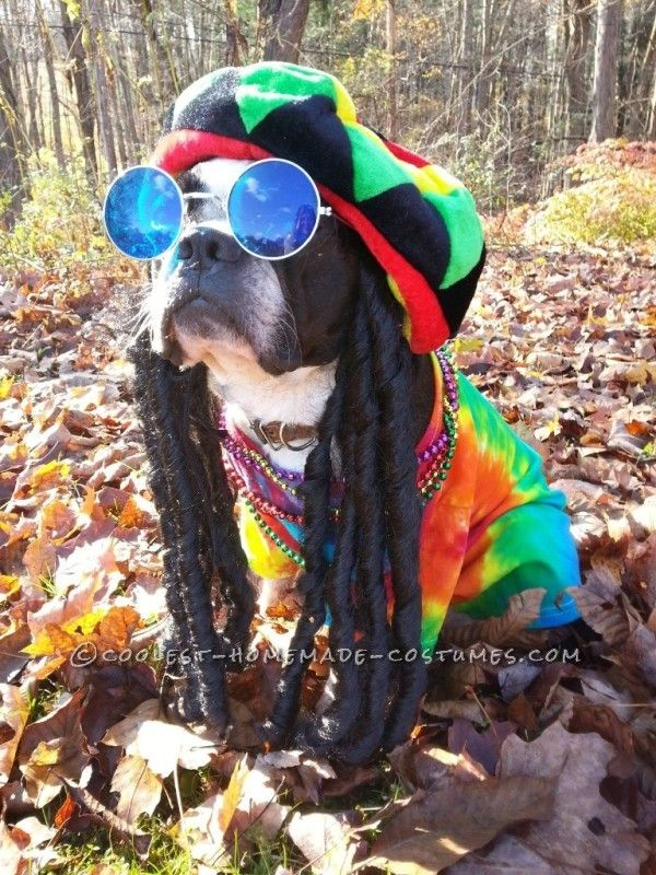 rasta dog costume pablo the boston terrier does bob marley - Halloween Costumes In Boston