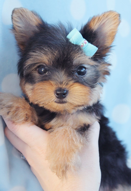 Cavapoo Puppies For Sale Jacksonville Fl 2021