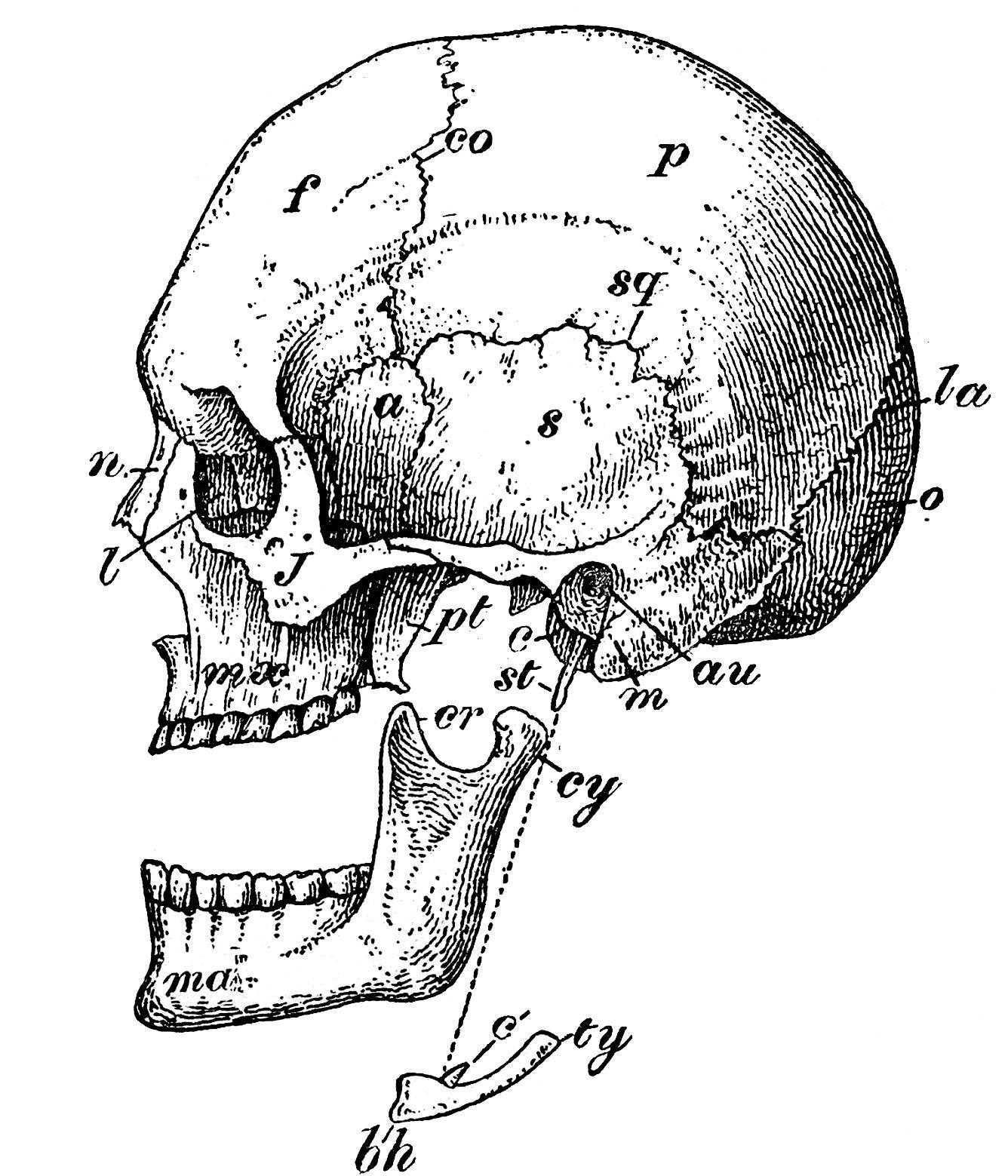 6 skull images vintage anatomy clip art bones art