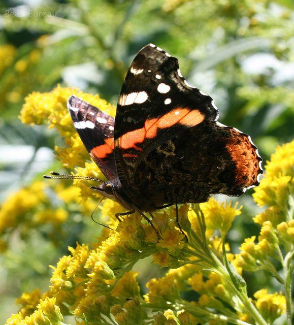 Mariposa Butterfly, Amazing