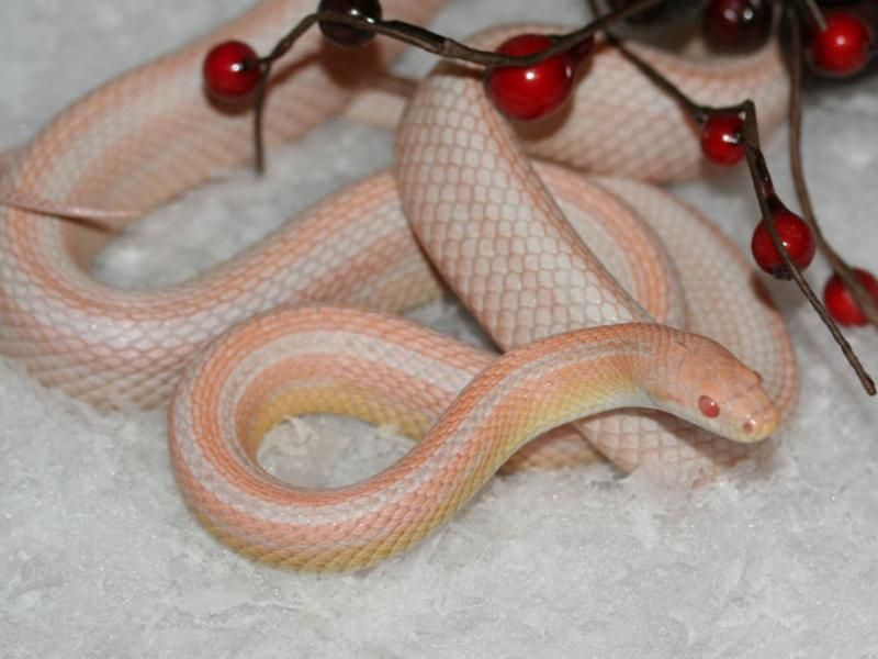 strawberry snow stripe | snake | Snake, Corn snake, Bubble gum