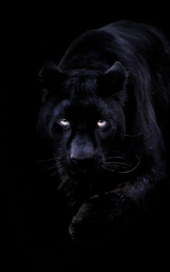 Panthere Noir Black Panther Panthere Noire Panthere