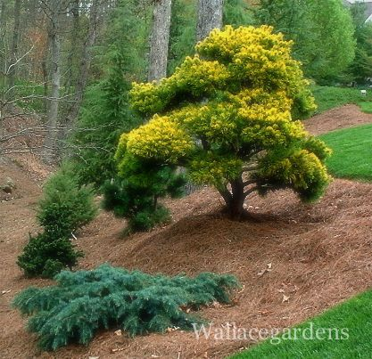 Left Prostrate Beauty Deodar Right Pinus Virginiana Wates Golden Conifers Garden Ornamental Trees Trees To Plant