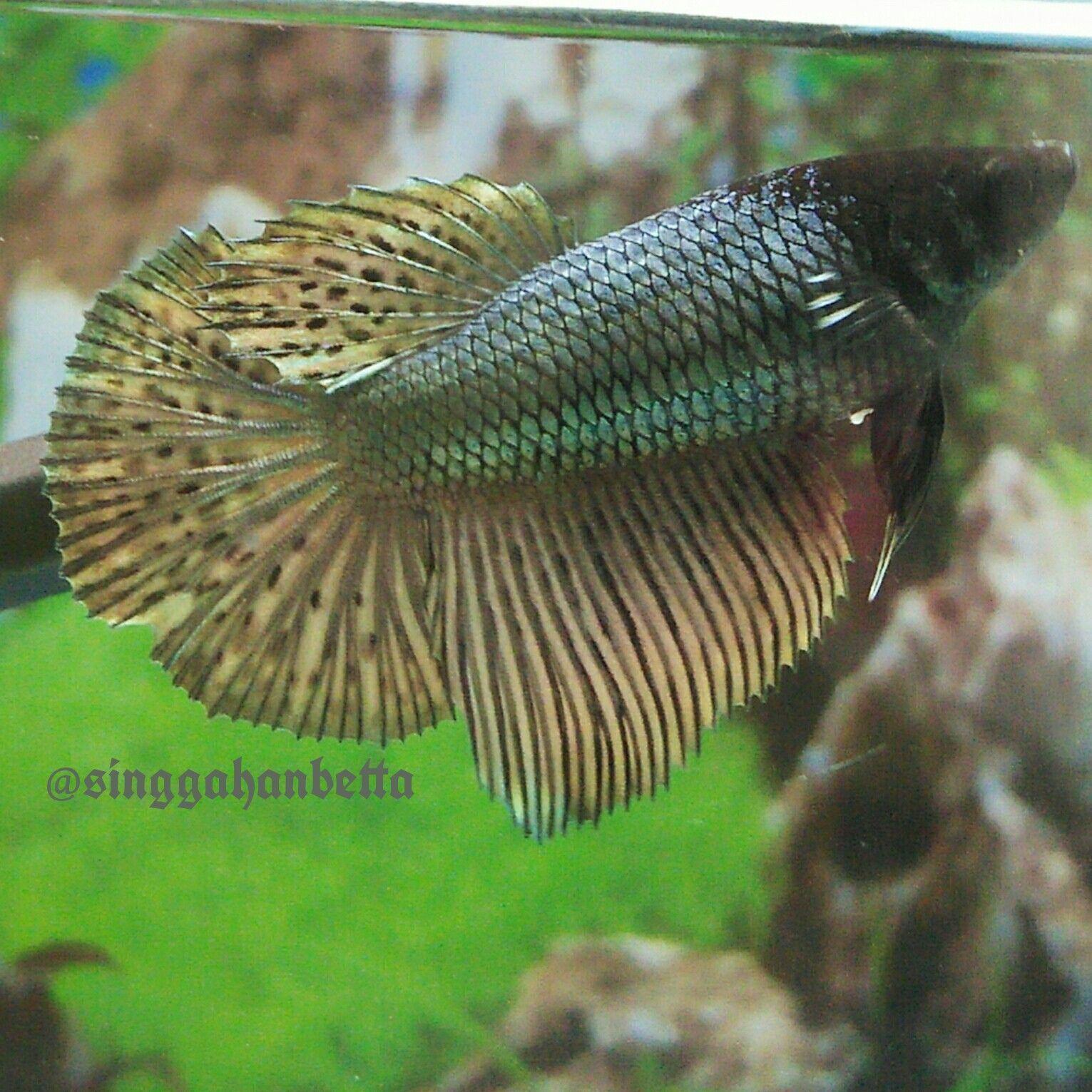 BLACKHEAD COPPER GOLD FEMALE | Beautiful Betta Fish | Pinterest ...