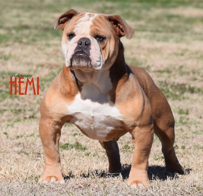 Oeb By Benny Nguyen Big Dogs Olde English Bulldogge Pet Dogs