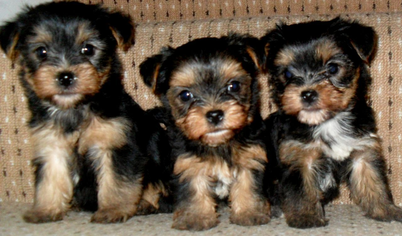 Three Yorkshire Terrier Puppies Yorkshire terrier