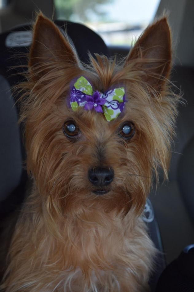 Adopt Ellie On Yorkie Yorkshire Terrier Yorkshire Terrier Yorkie