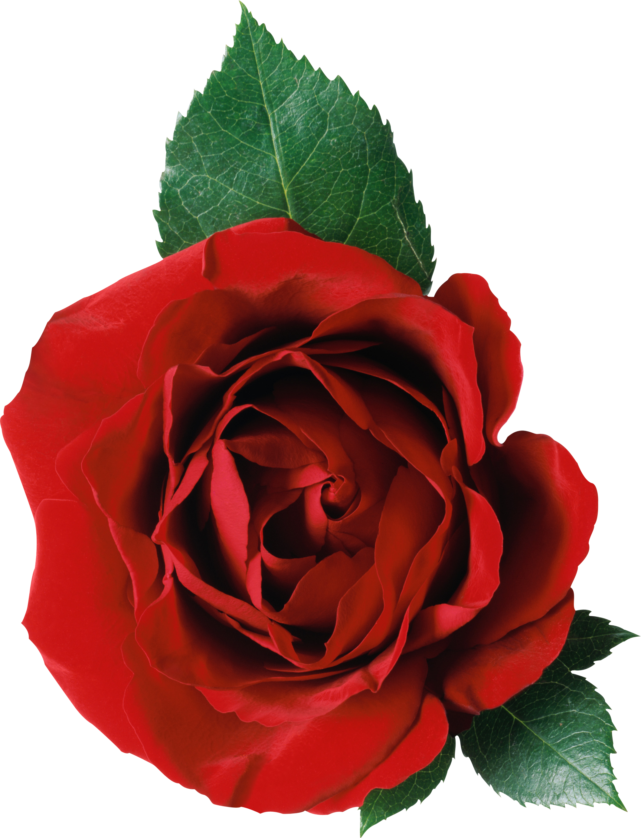 Rose Png Image Free Picture Download Red Rose Png Red Roses Red Flowers