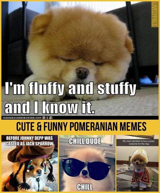 30 Hilariously Funny Pomeranian Memes Pomeranian memes