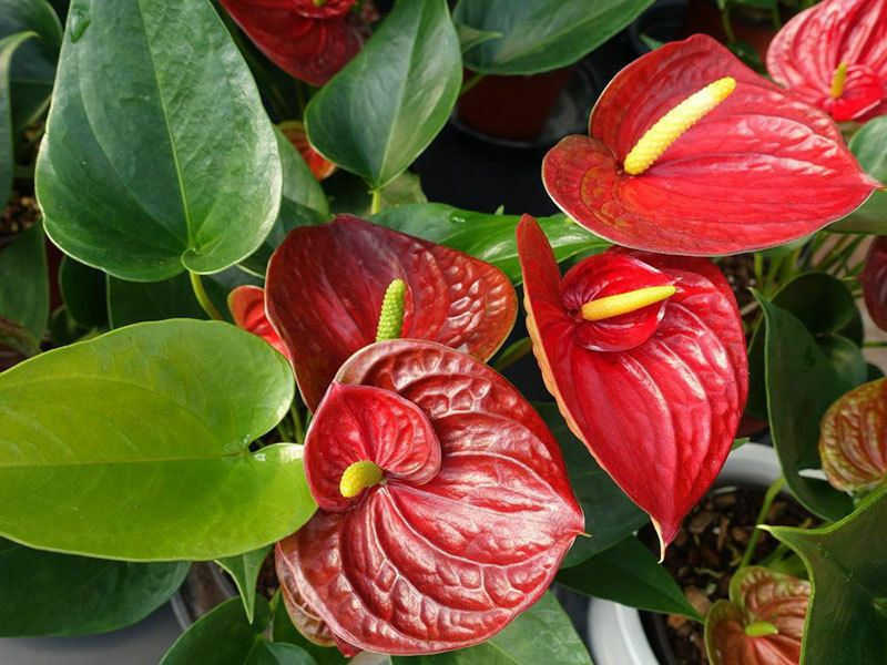 Anthurium Red Success Double Flowering New Release Established In 6 Pot Anthurium Flowering Cherry Tree Starter Plants