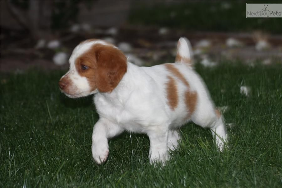 Brittany Spaniel For Sale Brittany Spaniel For Sale Brittany Spaniel Puppies Brittany Spaniel Dogs