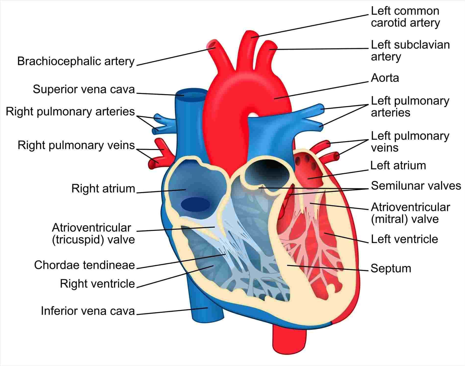 Human Heart Labeled . Human Heart Labeled Human Heart