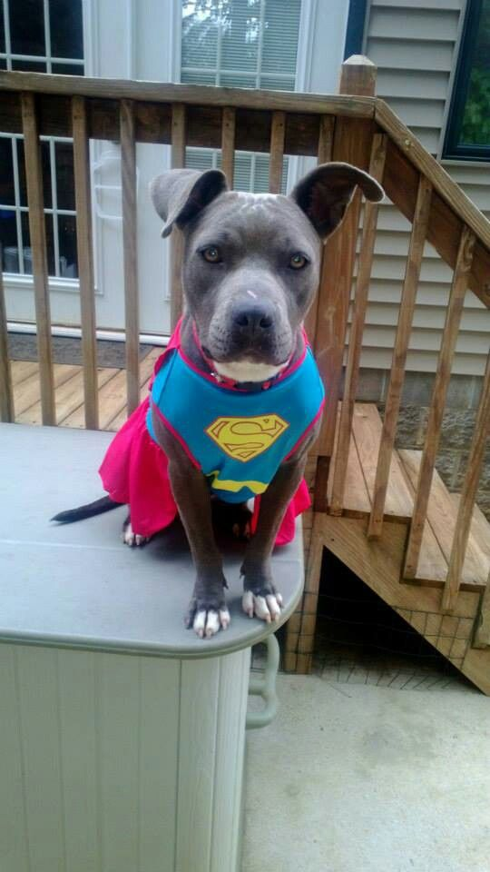 Pitbull Halloween Costume Superman Dog Halloween Costumes