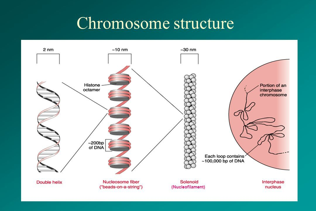 Structure Of Chromosomes Google Search Chromosome Structure Chromosome Double Helix