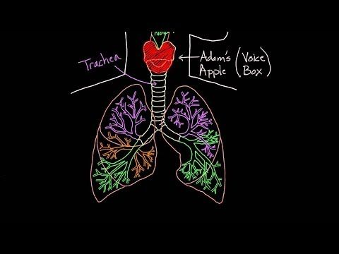 Meet the lungs youtube khan academy detalied description of the meet the lungs youtube khan academy detalied description of the respiratory system c3 w10 ccuart Choice Image