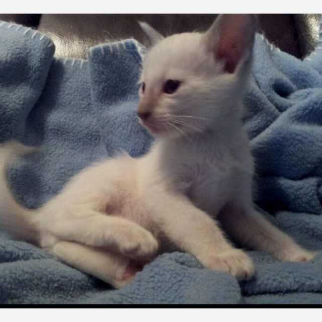 6 Week Old Male Blue Point Siamese Rafiki Azul 3 Cats And