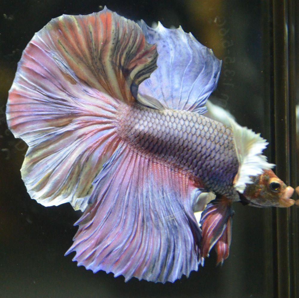 Live betta fish pastel multicolred dumbo ears halfmoon for Show betta fish
