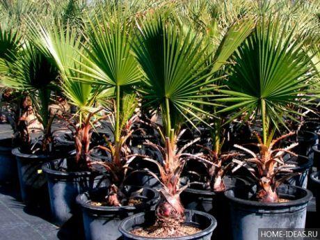 цветоводство   Пальмы, Калифорнийские пальмы и Растения