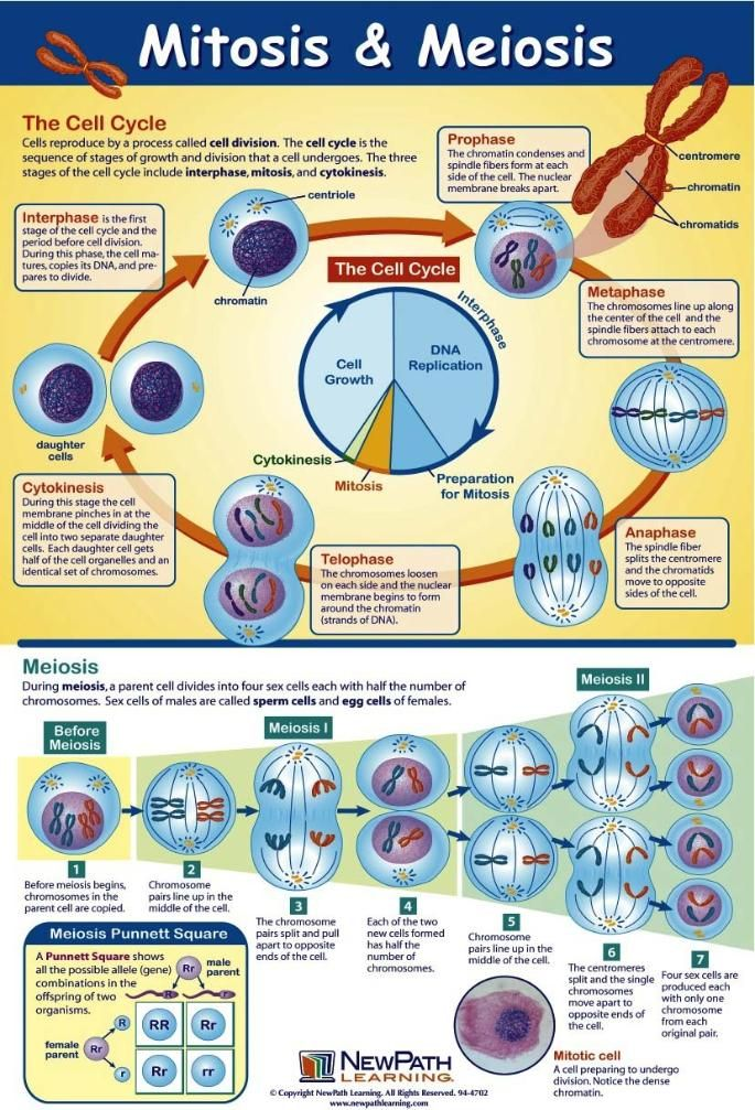 Compare Mitosis and Meiosis: Cut and Paste Activity and Worksheet ...