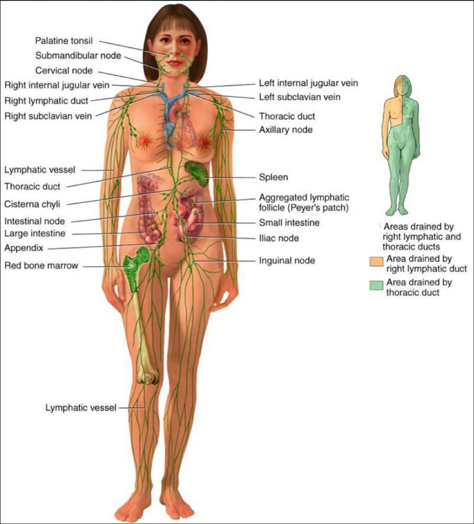 The Lymphatic System Diagram Human Anatomy Pictures Pinterest
