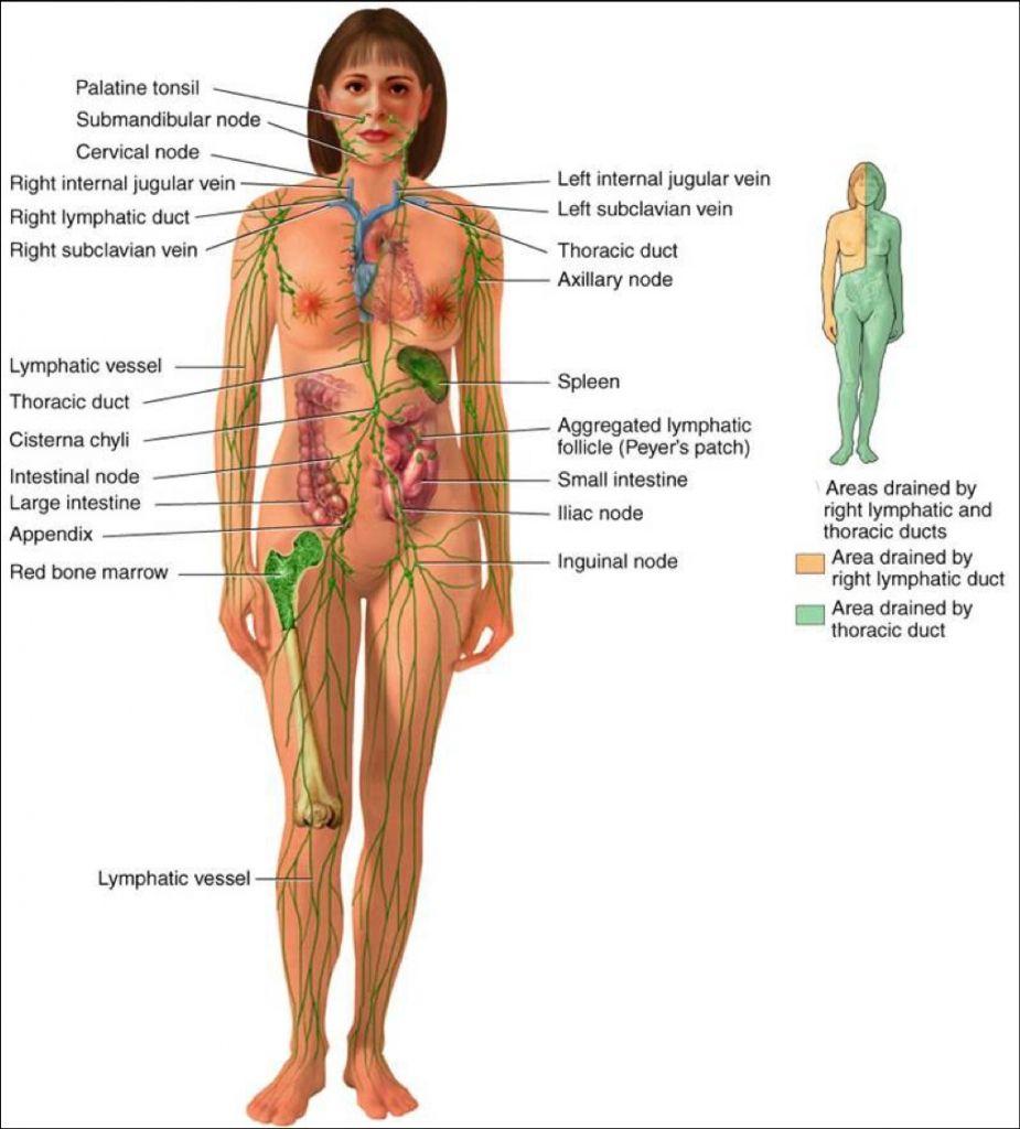 medium resolution of the lymphatic system diagram the lymphatic system diagram diagram of lymph nodes in human body diagram of lymph nodes in body