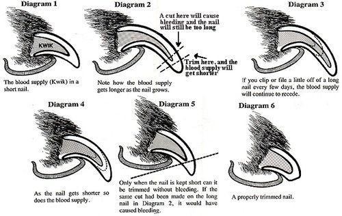 Pet Nail Clipping Guide Dog Nails Trimming Dog Nails Dog Care