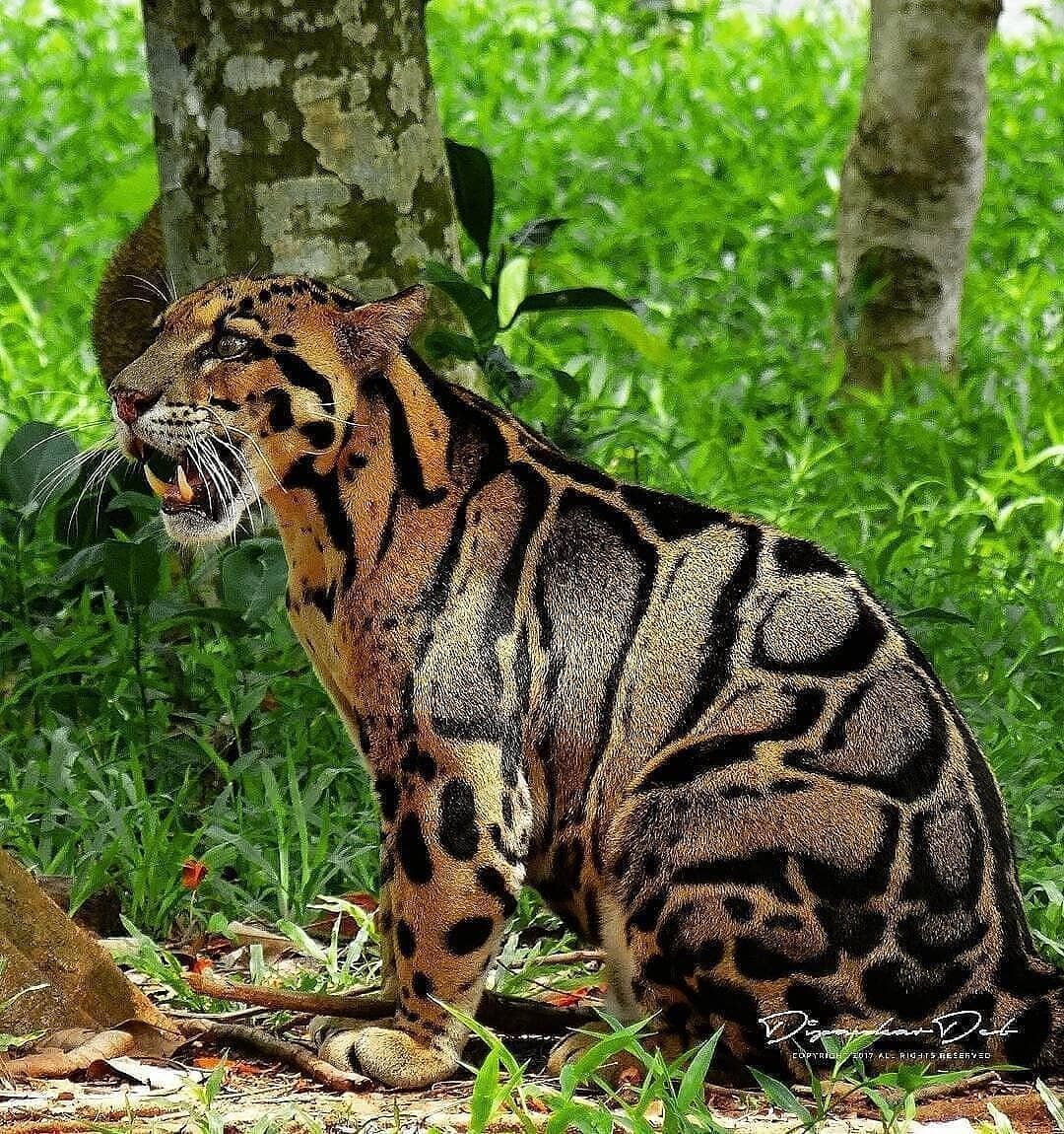Wildlife & Nature • Clouded leopard (Panthera pardus) in