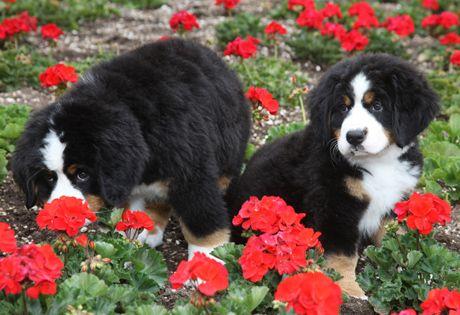 Bernese Mountain Dog Dog Breed Information Berners Rule
