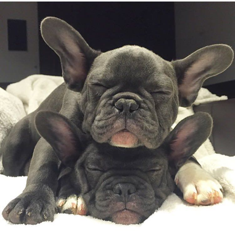 Good Morning French Bulldog Puppies Buldog Bulldog Puppies