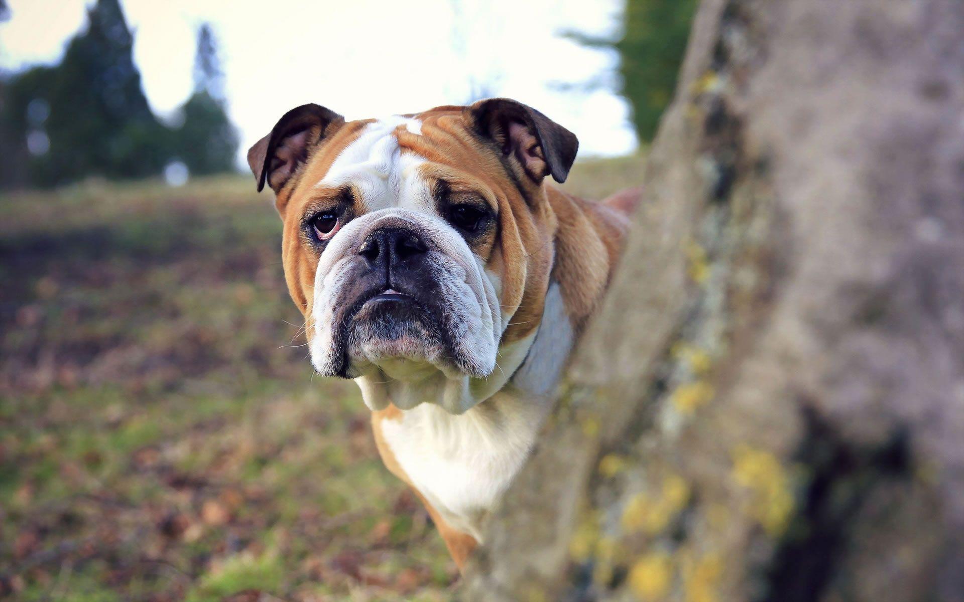 14 List Different Types Of Bulldogs Breeds Bulldog Wallpaper