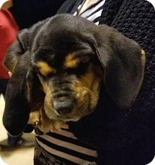 Fayetteville Ar Bloodhound Mix Meet Sallt A Puppy For
