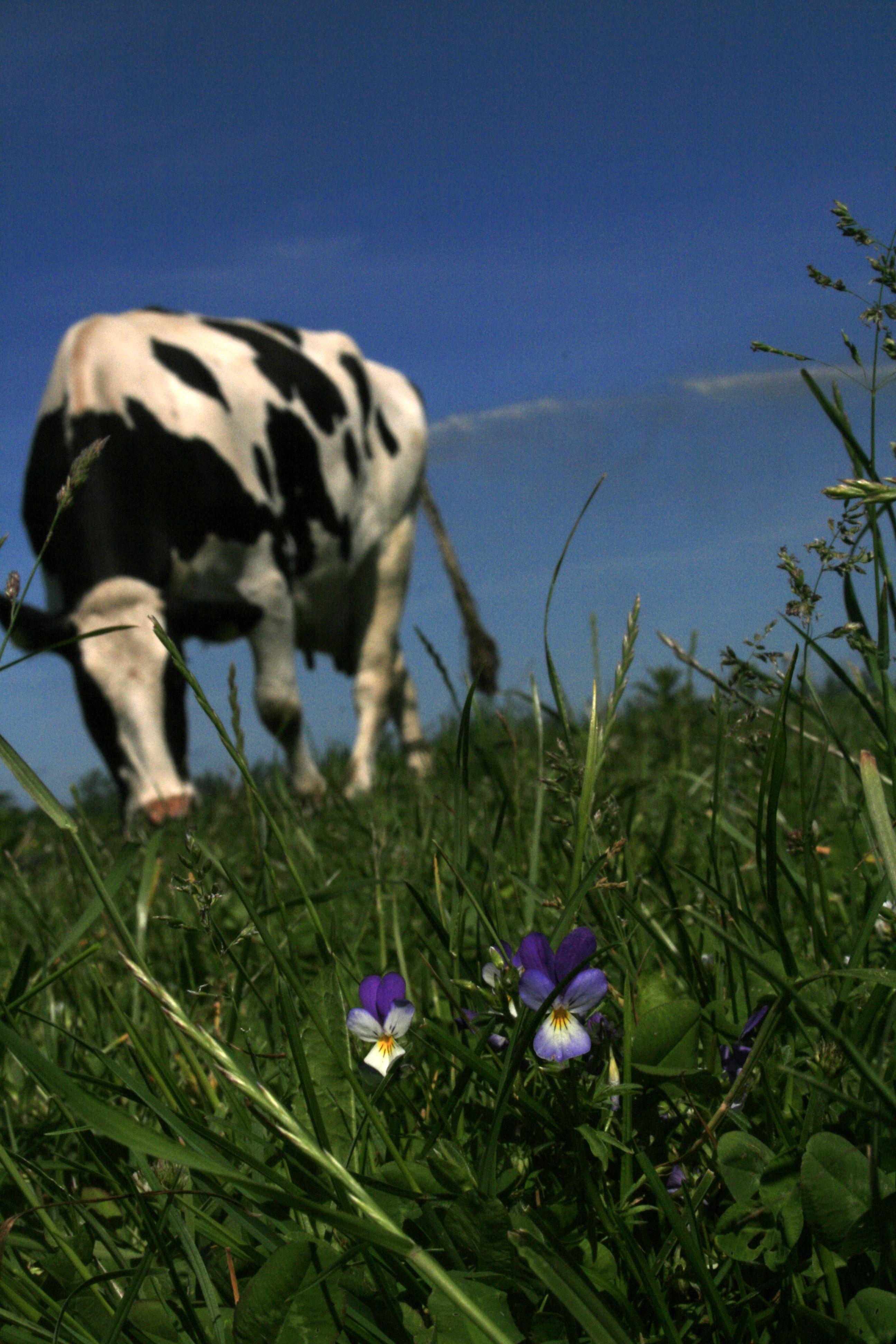 Ko på græs