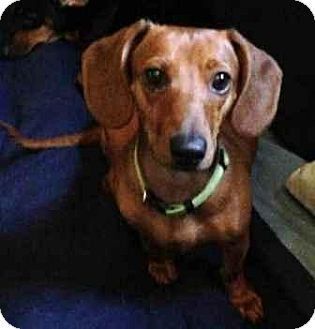 A Beautiful 6 Lb 11 Month Old Smooth Red Female Dachshund