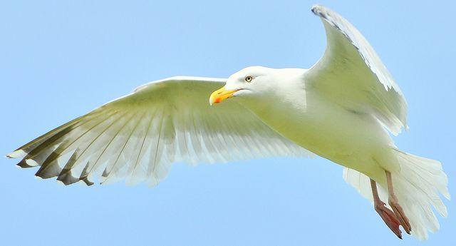 The grace of the herring gull ...