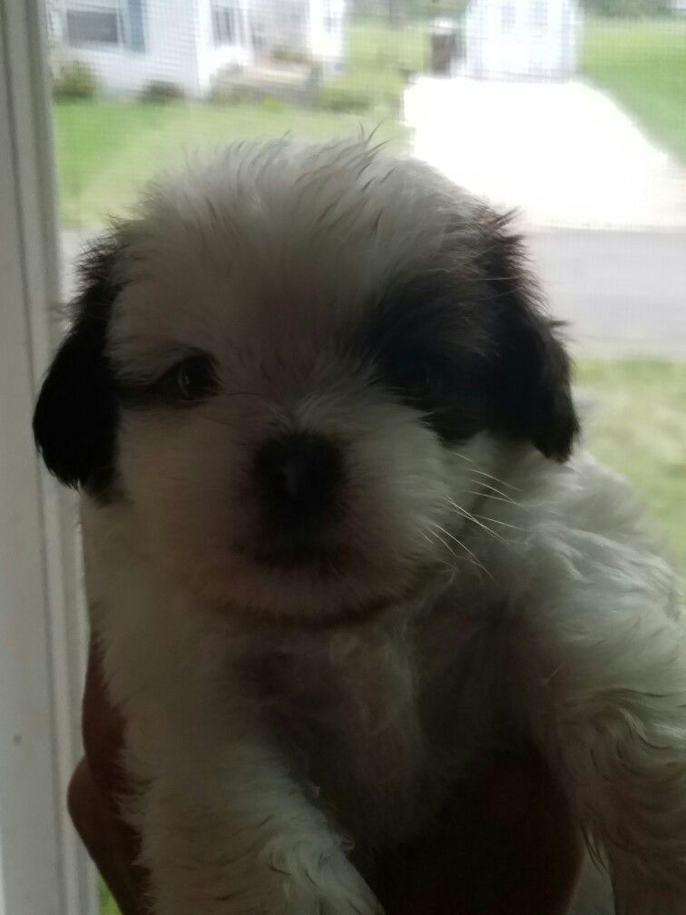 Pin By Joy Canady On Cava Shu Puppies For Sale Cavalier King