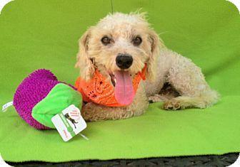 Burbank, CA - Poodle (Miniature) Mix. Meet Charade, a dog for adoption. http://www.adoptapet.com/pet/13981114-burbank-california-poodle-miniature-mix