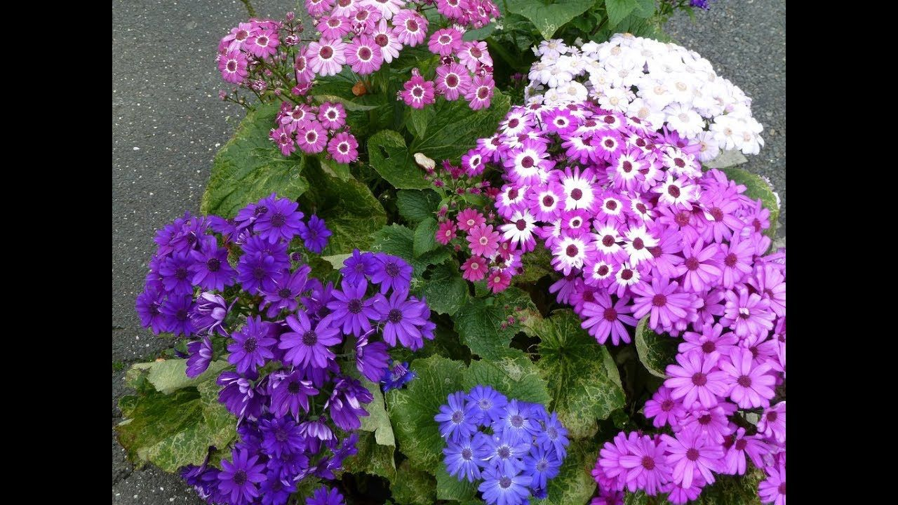Amazing and most beautiful cineraria flowers beautiful and amazing and most beautiful cineraria flowers romantic flowers izmirmasajfo