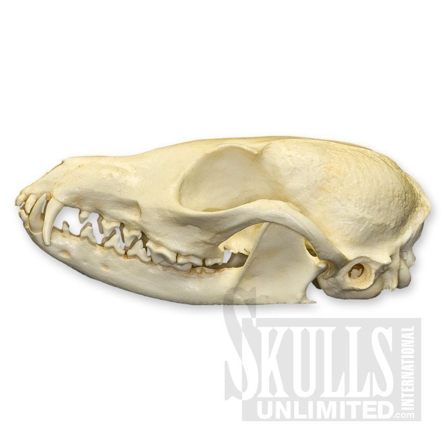 African Cape Skull (Vulpes chama) | WTQ-351 | Skulls | Pinterest ...