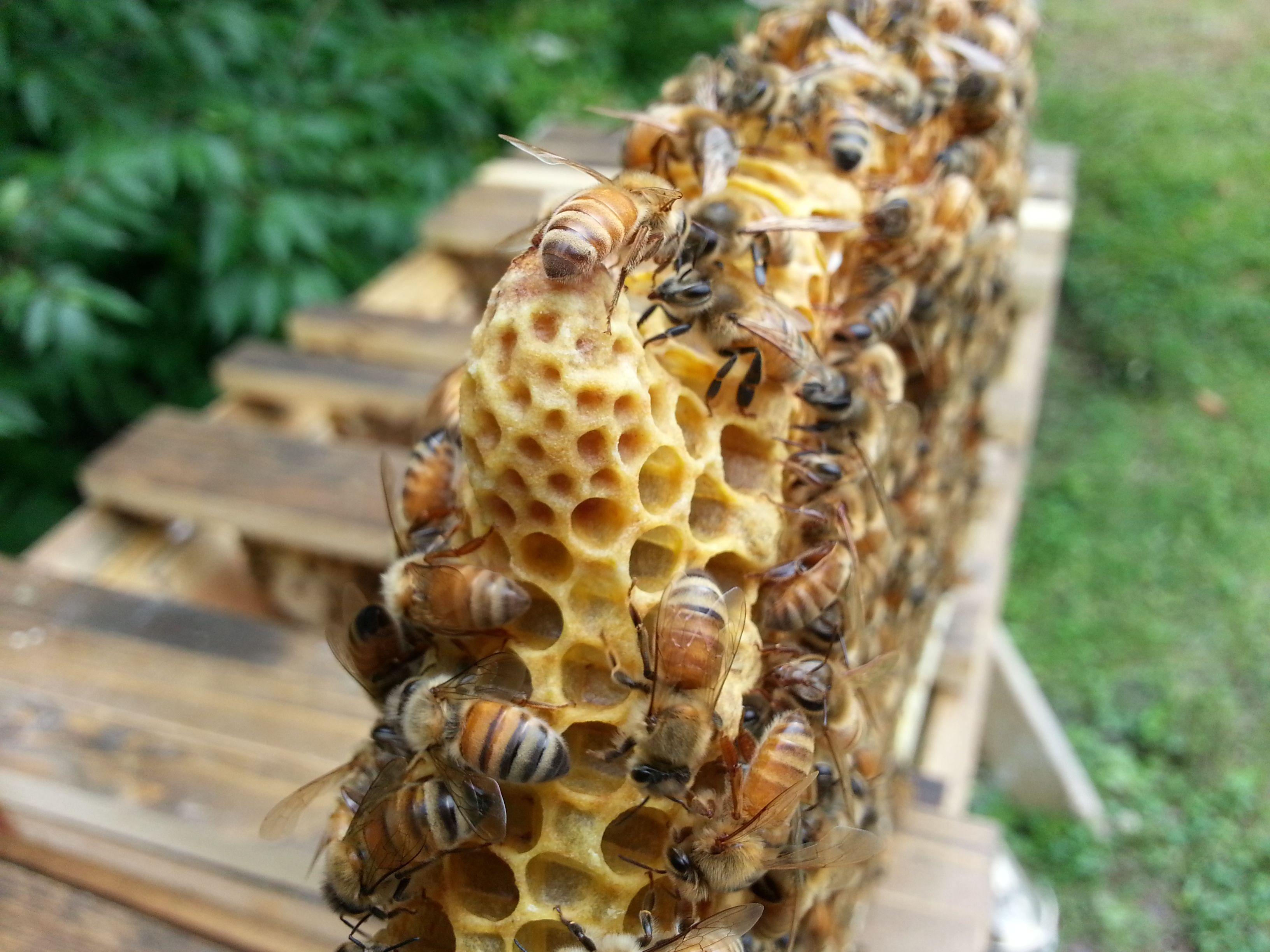 Honey bee Queen Cell | bees | Pinterest