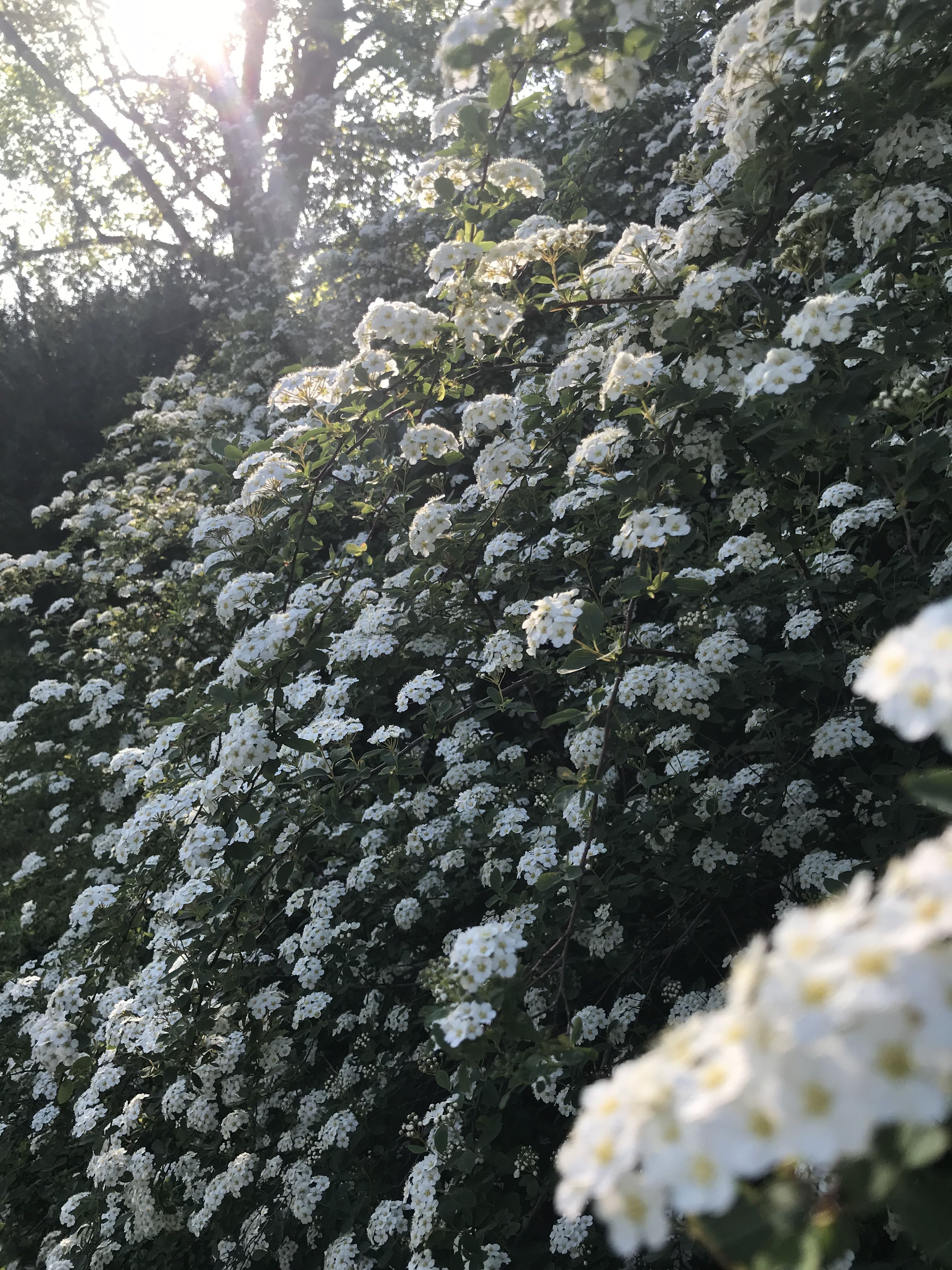Bridal Wreath in the early morning Wedding officiant